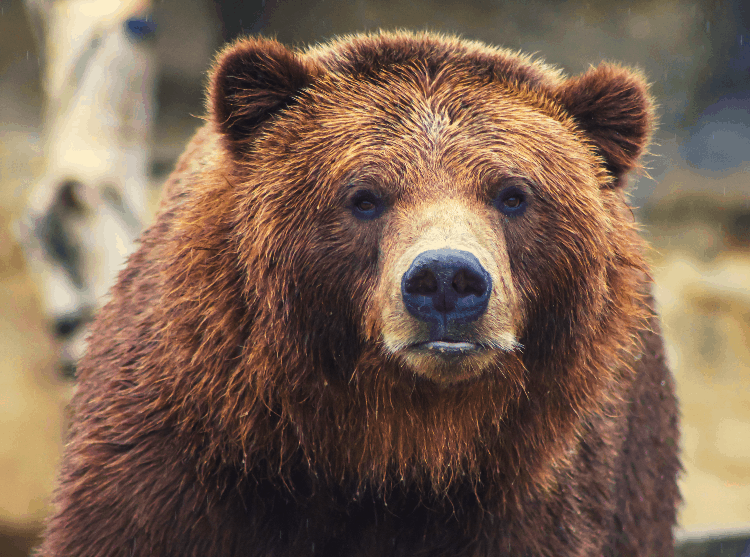face of a bear