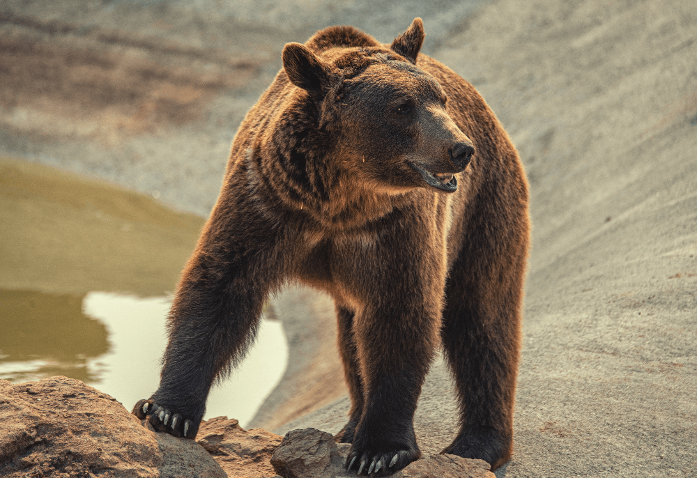bear standing next to a body of water
