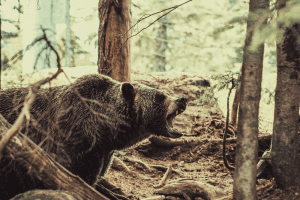 bear roaring in the forest