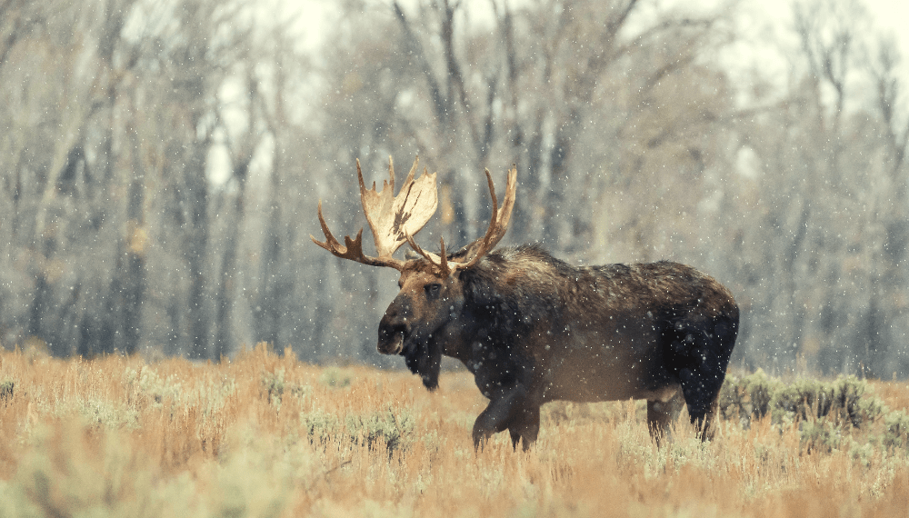 moose standing in the forest in wyoming during the winter